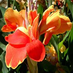 Botanical name:         Canna indica          English common name:  Indian- shot   Arabic common name:  زنبق   Group:  Evergreen perennial   Size (height x width):  1.5m X 0.4m   Flowering season:  May - October   Growth rate:  Fast   Sun exposure:  Full sun   Water usage:  Little watering (Once a week)