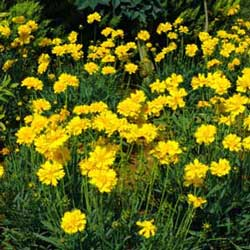 Botanical name:         Coreopsis auriculata          English common name:  Coreopsis   Arabic common name:  كوريوبسيس   Group:  Evergreen perennial   Size (height x width):  0.3m X 0.3m   Flowering season:  April - October   Growth rate:  Fast   Sun exposure:  Full sun   Water usage:  Low watering (once a week)