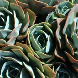 Botanical name:         Echeveria imbricata          English common name:  Hen and Chickens   Arabic common name:  إيشيفيريا   Group:  Succulent   Size (height x width):  0.1m x 0.2m   Flowering season:  May -June   Growth rate:  Moderate   Sun exposure:  Full sun, part shade   Water usage:  Very low watering (once a month)