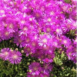 Botanical name:         Drosanthemum floribundum          English common name:  Rosea Ice Plant   Arabic common name:  ندى ناعم   Group:  Succulent   Size (height x width):  0.05m x 0.40m   Flowering season:  March - April   Growth rate:  Fast   Sun exposure:  Full sun, part shade   Water usage:  Very low watering (once a month)