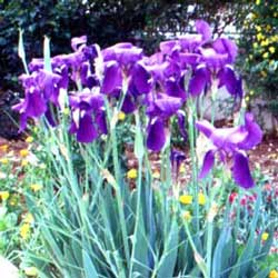 Bearded Iris (Iris sp.)