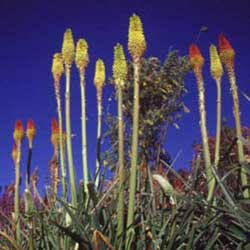 Botanical name:           Kniphofia uvaria            English common name:          Torch Lily           Arabic common name:  زهرة الشعلة   Group:  Evergreen perennial   Size (height x width):  0.7m X 0.5m   Flowering season:  April - May   Growth rate:  Fast   Sun exposure:  Full sun   Water usage:  Very low watering (once a month)