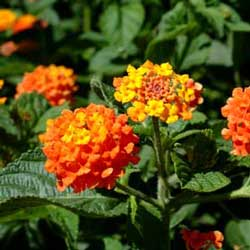Botanical name:            Lantana camara             English common name:  Lantana   Arabic common name:  أم كلثوم   Group:  Semi evergreen shrub   Size (height x width):  1.5m X 1.5m   Flowering season:  May - October   Growth rate:  Fast   Sun exposure:  Full sun   Water usage: L ow watering (twice a month)