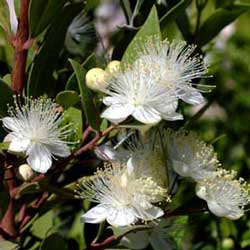 Botanical name:               Myrtus communis                English common name:  Myrtle   Arabic common name:  آس، ريحان   Group:  Evergreen shrub   Size (height x width):  2.5m X 1.5m   Flowering season:  June - August   Growth rate:  Moderate   Sun exposure:  Full sun, part shade   Water usage:  Little watering (once a week)