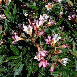 Botanical name:                Nerium oleander 'Nana'                 English common name:  Oleander   Arabic common name:  دفلة مقزّمة   Group:  Evergreen shrub   Size (height x width):  0.7m X 0.7m   Flowering season:  June - October   Growth rate:  Moderate   Sun exposure:  Full sun   Water usage:  Low watering (twice a month)
