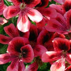 Botanical name:                Pelargonium domesticum                 English common name:  Regal Geranium   Arabic common name:  شاكرية   Group:  Evergreen perennial   Size (height x width):  0.8m X 0.5m   Flowering season:  May - September   Growth rate:  Fast   Sun exposure:  Full sun, part shade   Water usage:  Low watering (twice a month)