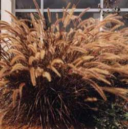 Botanical name:                Pennisetum setaceum                 English common name:  Fountain Grass   Arabic common name:  حلفاء حمراء   Group:  Ornamental grass   Size (height x width):  1.0m x 0.7m   Flowering season:  Insignificant flowers   Growth rate:  Fast   Sun exposure:  Full sun, part shade   Water usage:  Low watering (twice a month)