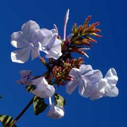 Botanical name:                Plumbago capensis                 English common name:  Cape Plumbago   Arabic common name:  ياسمين أزرق   Group:  Evergreen vine or shrub   Size (height x width):  3.0m x 1.5m   Flowering season:  May - October   Growth rate:  Fast   Sun exposure:  Full sun   Water usage:  Low watering (twice a month)