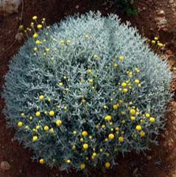 Botanical name:                Santolina chamaecyparissus                 English common name:  Lavender Cotton   Arabic common name:  شيح   Group:  Evergreen shrub   Size (height x width):  0.3m x 0.4m   Flowering season:  May - June   Growth rate:  Fast   Sun exposure:  Full sun   Water usage:  Low watering (twice a month)