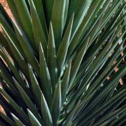 Botanical name:                Yucca aloifolia                 English common name:  Spanish Bayonet   Arabic common name:  حربة   Group:  Evergreen shrub   Size (height x width):  4m x 1.5m   Flowering season:  May - June   Growth rate:  Moderate   Sun exposure:  Full sun   Water usage:  Very low watering (once a month)