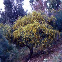 Botanical name:    Acacia cyanophylla     English common name:  Mimosa   Arabic common name:  كاشيا   Group:  Evergreen tree   Size (height x width):  5m x 4m   Flowering season:  March - April   Growth rate:  Fast   Sun exposure:  Full sun   Water usage:  No watering once established