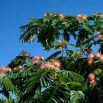 Botanical name:    Albizia julibrissin     English common name:  Silk Tree   Arabic common name:  ألبيزيا   Group:  Deciduous Tree   Size (height x width):  6m x 8m   Flowering season:  May - June   Growth rate:  Fast   Sun exposure:  Full sun, part shade   Water usage:  Some watering once established