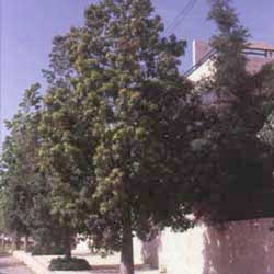 Botanical name:    Brachychiton populneus     English common name:  Bottle tree   Arabic common name:  بدة العفريت   Group:  Evergreen Tree   Size (height x width):  10 - 15m x 6m   Flowering season:  April - June   Growth rate:  Moderate   Sun exposure:  Full sun   Water usage:  No watering once established