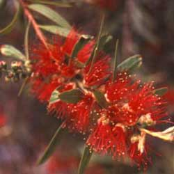 Botanical name:    Callistemon viminalis     English common name:  Bottlebrush   Arabic common name:  فرشاة الزجاج   Group:  Evergreen Tree   Size (height x width):  6m x 5m   Flowering season:  April - May   Growth rate:  Moderate   Sun exposure:  Full sun   Water usage:  Some watering once established