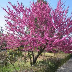 Botanical name:    Cersis siliquastrum     English common name:  Redbud   Arabic common name:  سرسس   Group:  Deciduous Tree   Size (height x width):  6m x 5m   Flowering season:  March - April   Growth rate:  Moderate   Sun exposure:  Full sun, part shade   Water usage:  No watering once established