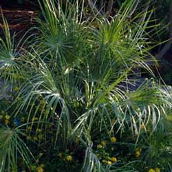Botanical name:    Chamaerops humilis     English common name:  European Fan Palm   Arabic common name:  شميروبس   Group:  Evergreen tree   Size (height x width):  3m x 1.5m   Flowering season:  Insignificant flowers   Growth rate:  Slow   Sun exposure:  Full sun   Water usage:  Some watering once established