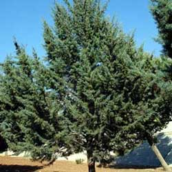 Botanical name:    Cupressus arizonica     English common name:  Smooth Arizona Cypress    Arabic common name:  سرو فضّي   Group:  Evergreen tree   Size (height x width):  10m x 4m   Flowering season:  No Flowers   Growth rate:  Moderate   Sun exposure:  Full sun   Water usage:  No watering once established