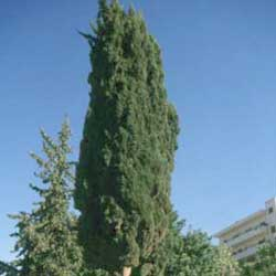 Botanical name:    Cupressus sempervirens var 'Stricta'     English common name:  Italian Cypress   Arabic common name:  سرو عمودي   Group:  Evergreen tree   Size (height x width):  10m x 2m   Flowering season:  No Flowers   Growth rate:  Fast   Sun exposure:  Full sun   Water usage:  No watering once established