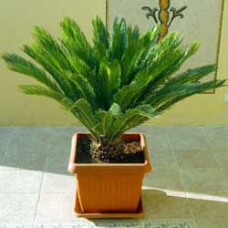Botanical name:    Cycas revoluta     English common name:  Sago Palm   Arabic common name:  سيكس   Group:  Evergreen tree   Size (height x width):  2m x 1.5m   Flowering season:  Infignificant flowers   Growth rate:  Slow   Sun exposure:  Full shade, Part sun   Water usage:  Some watering once established