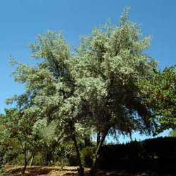 Botanical name:    Elaeagnus angustifolia     English common name:  Russian Olive   Arabic common name:  زيزفون   Group:  Deciduous tree    Size (height x width):  7m x 6m   Flowering season:  June - July   Growth rate:  Slow   Sun exposure:  Full sun, Part shade   Water usage:  Some watering once established