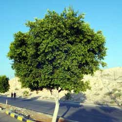 Botanical name:    Ficus nitida     English common name:  Laurel Fig   Arabic common name:  فيكس   Group:  Evergreen tree   Size (height x width):  5 - 8m x 5 - 8m   Flowering season:  Insignificant flowers   Growth rate:  Moderate   Sun exposure:  Full sun, part shade   Water usage:  Some watering once established