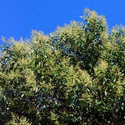 Botanical name:    Ligustrum lucidum     English common name:  Glossy Privet   Arabic common name:  لجسترم   Group:  Evergreen tree   Size (height x width):  6m x 4m   Flowering season:  June - July   Growth rate:  Fast   Sun exposure:  Full sun   Water usage:  No watering once established