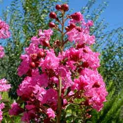 Botanical name:    Lagerstroemia indica     English common name:  Crape Myrtle   Arabic common name:  لجستروميا   Group:  Deciduous tree   Size (height x width):  5m x 4m   Flowering season:  June - September   Growth rate:  Moderate   Sun exposure:  Full sun, part shade   Water usage:  Some watering once established