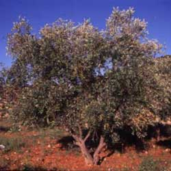 Botanical name:    Olea europaea     English common name:  Olive   Arabic common name:  زيتون   Group:  Evergreen   Size (height x width):  6m x 6m   Flowering season:  March - May   Growth rate:  Moderate   Sun exposure:  Full sun   Water usage:  No watering once established