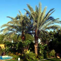Botanical name:    Phoenix dactylifera     English common name:  Date palm   Arabic common name:  نخلة   Group:  Evergreen Tree   Size (height x width):  15m x 5m   Flowering season:  April   Growth rate:  Slow   Sun exposure:  Full sun, part shade   Water usage:  No watering once established
