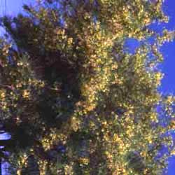 Botanical name:    Parkinsonia aculeata     English common name:  Jerusalem Thorn   Arabic common name:  بركنسونيا   Group:  Deciduous Tree   Size (height x width):  6m x 6m   Flowering season:  March - May   Growth rate:  Moderate   Sun exposure:  Full sun   Water usage:  No watering once established
