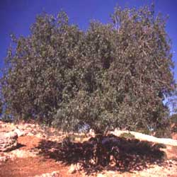 Botanical name:    Pistacia palaestina     English common name:  Wild Pistachio   Arabic common name:  بطم   Group:  Deciduous tree   Size (height x width):  4 - 15m x 4 - 10m   Flowering season:  Insignificant flowers   Growth rate:  Moderate   Sun exposure:  Full sun   Water usage:  No watering once established