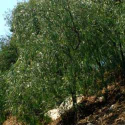 Botanical name:          Schinus molle           English common name:  Pepper tree   Arabic common name:  فلفل زينة   Group:  Evergreen tree   Size (height x width):  8m x 8m   Flowering season:  June - July   Growth rate:  Fast   Sun exposure:  Full sun   Water usage:  No watering once established