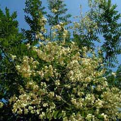 Botanical name:          Sophora japonica           English common name:  Japanese Pagoda Tree   Arabic common name:  صوفورا   Group:  Deciduous tree   Size (height x width):  6m x 6m   Flowering season:  June - July   Growth rate:  Moderate   Sun exposure:  Full sun, part shade   Water usage:  No watering once established