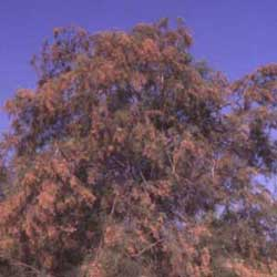 Botanical name:          Tamarix aphylla           English common name:  Tamarisk   Arabic common name:  إثـل   Group:  Evergreen tree   Size (height x width):  5m x 5m   Flowering season:  April - June   Growth rate:  Moderate   Sun exposure:  Full sun   Water usage:  Some watering once established