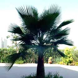 Botanical name:          Washingtonia filifera           English common name:  Washingtonia   Arabic common name:  وا شـنتونيا   Group:  Evergreen tree   Size (height x width):  15m x 3m   Flowering season:  June   Growth rate:  Slow   Sun exposure:  Full sun   Water usage:  No watering once established