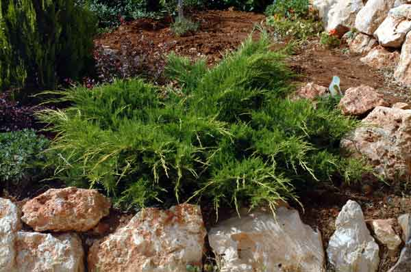 Juniper ( Juniperus horizontalis ): A drought tolerant evergreen shrub that is suitable for erosion control and gives a year round green effect. May also be used as a groundcover. (image credit: Osman Akoz)