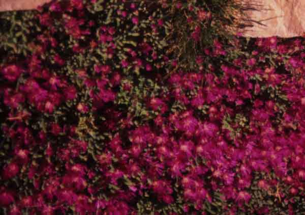Rosea Ice Plant (Drosanthemum floribundum): A drought tolerant succulent groundcover that is suitable for erosion control. Has pink flowers. (image credit: Osman Akoz)