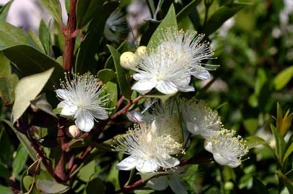 Myrtle ( Myrtus communis ): A drought tolerant ornamental plant that is suitable for screens and formal hedges. (image credit Osman Akoz).