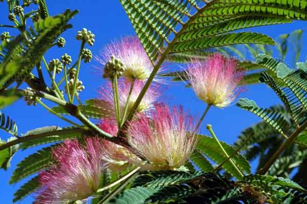 Albizia julibrissin  (Silk Tree).(image credit: Osman Akoz)