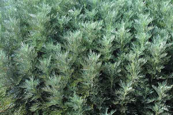Fine-textured plants such as Artemisia arborescens (Faith Raven) Provide a soft and delicate feel to the landscape, and also provide neutral background for other plants.  Grown for it's delicate silver foliage; Artemisia arborescens is good in borders, especially with pink and lavender hues. (image credit: Osman Akoz