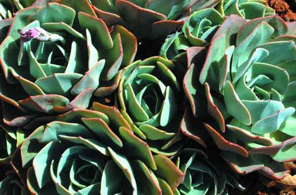 Coarse-textured plants such as Echeveria imbracata (Hen and Chickens) serve to provide clear focal points in the landscape.  Grown for its silver foliage Echeveria imbracata is effective in rock gardens or in pots. (image credit: Osman Akoz)