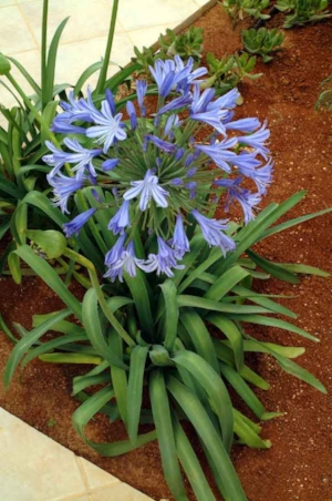 Agapanthus orientalis  (Lily of the Nile): a drought tolerant evergreen perennial; requires little watering (once a week); ideal in pots or near pools; provides a tropical effect. (image credit: Osman Akoz)