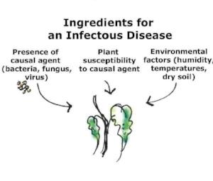 Plant disease  (image credit: Dalia al-Husseini)