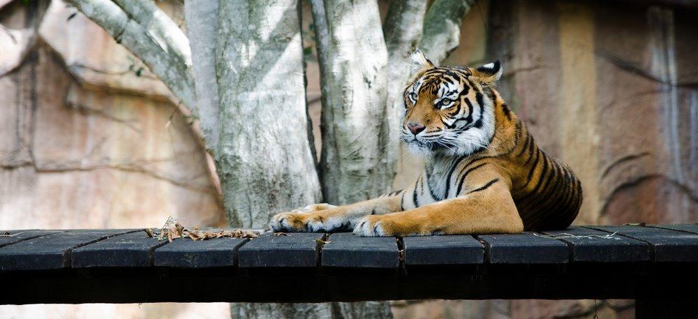 3 tiikerinloikkaa