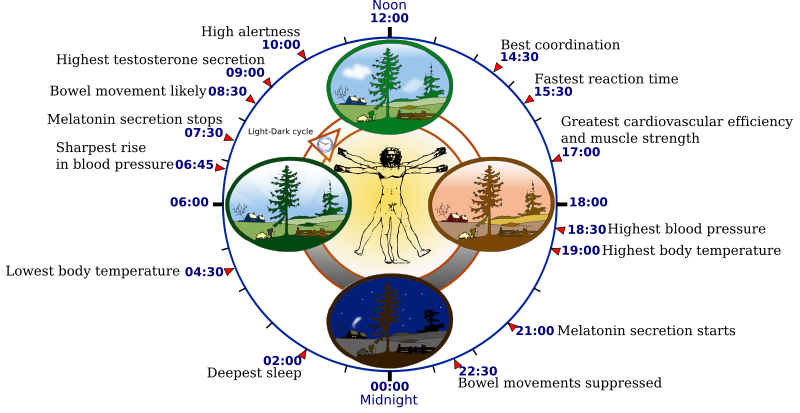 Example demonstrating optimal bodily functions in coordination with natural circadian clock cycles.
