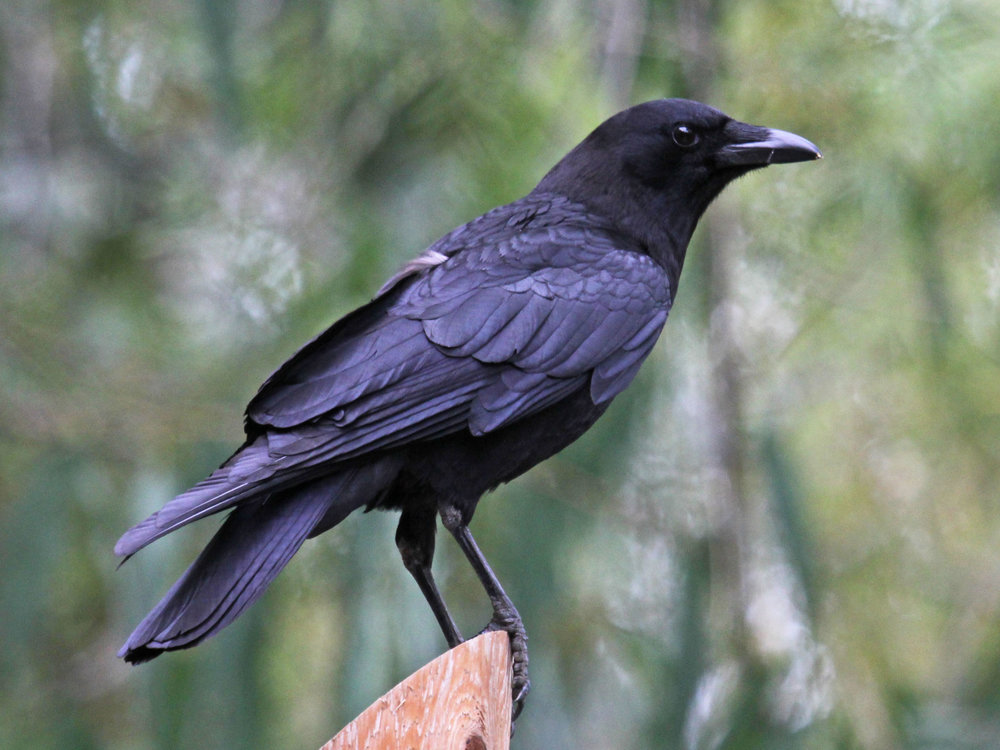 American crow in all her glory