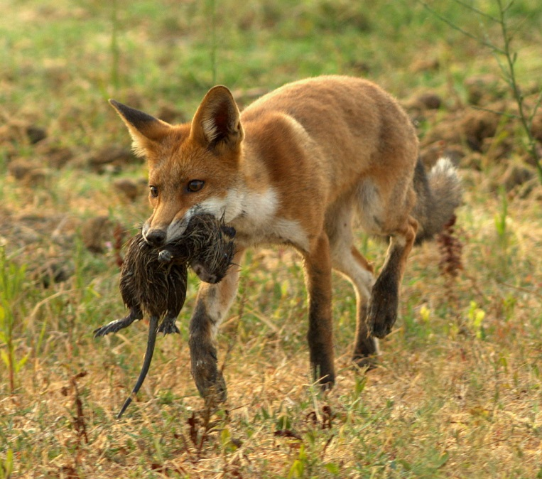 """Alright, so it's a red fox. """"Competition coyote"""" just sounded better. Point being there are a bunch of competitors that could run off with that resource!"""