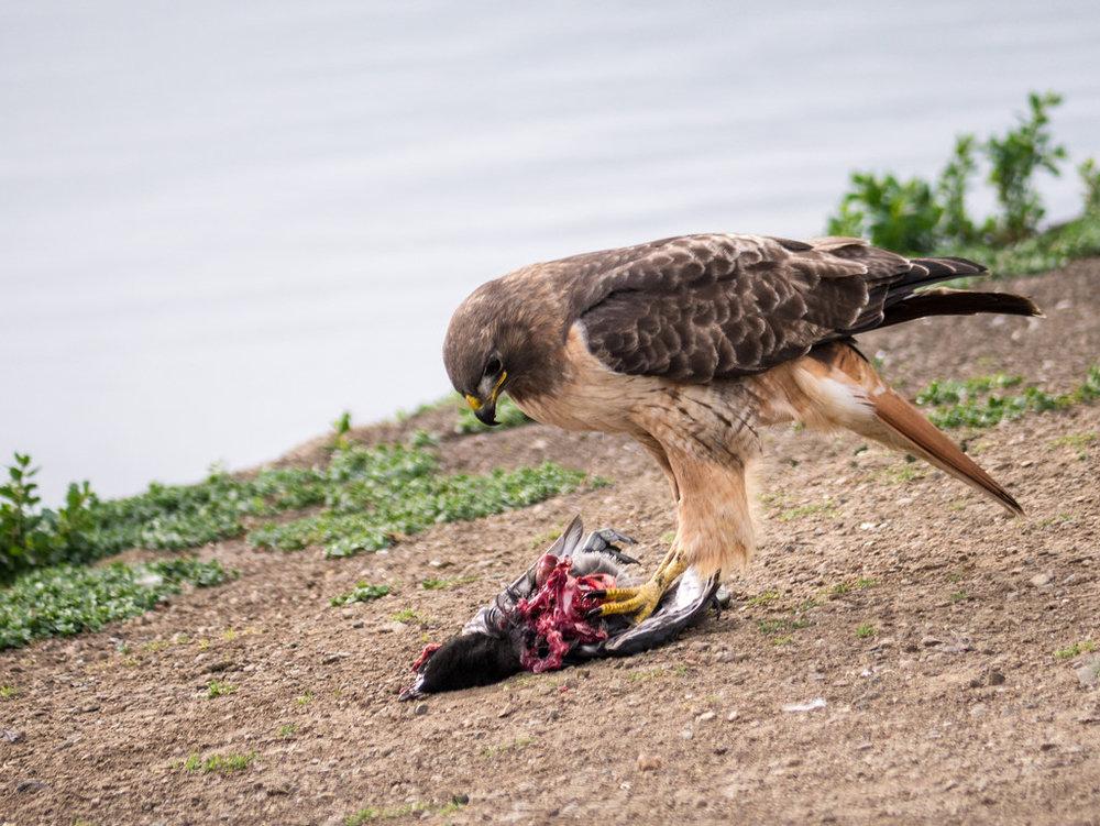 A hawk enjoying the spoils...