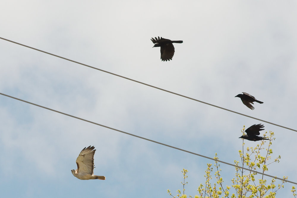Cooperative behavior in crows and companies alike, will drive off hawk competitors.
