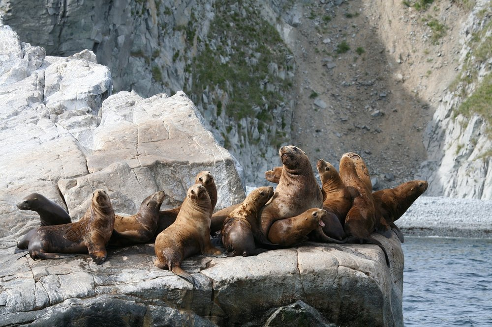 A harem of sea lions.